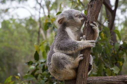 Roztomilá koala